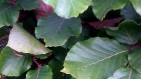 Green Beech Hedging