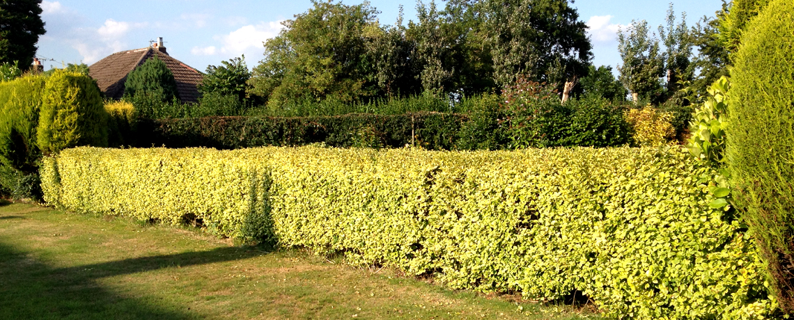 Golden-Privet-Hedging1