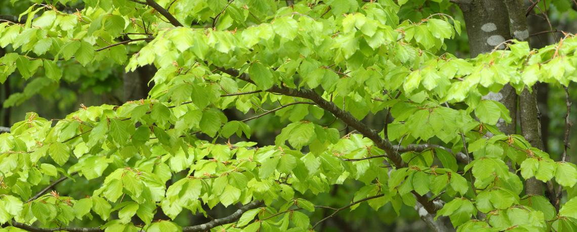 Green-Beech-Banner-5