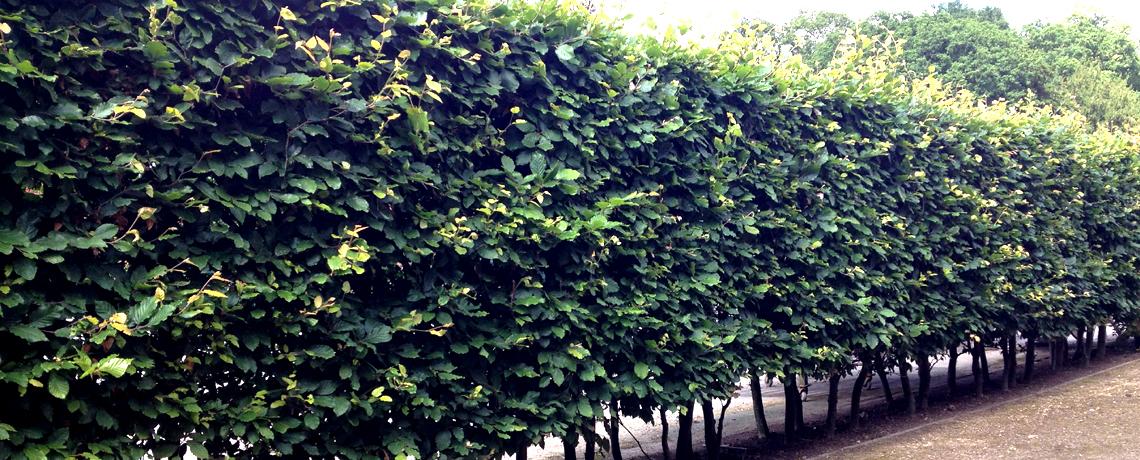 Green-Beech-Hedging1