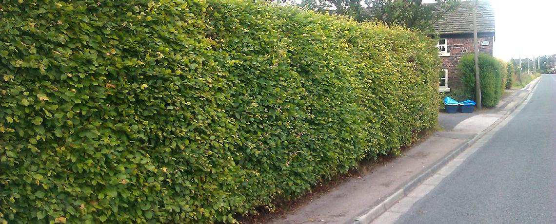Green-Beech-Hedging3