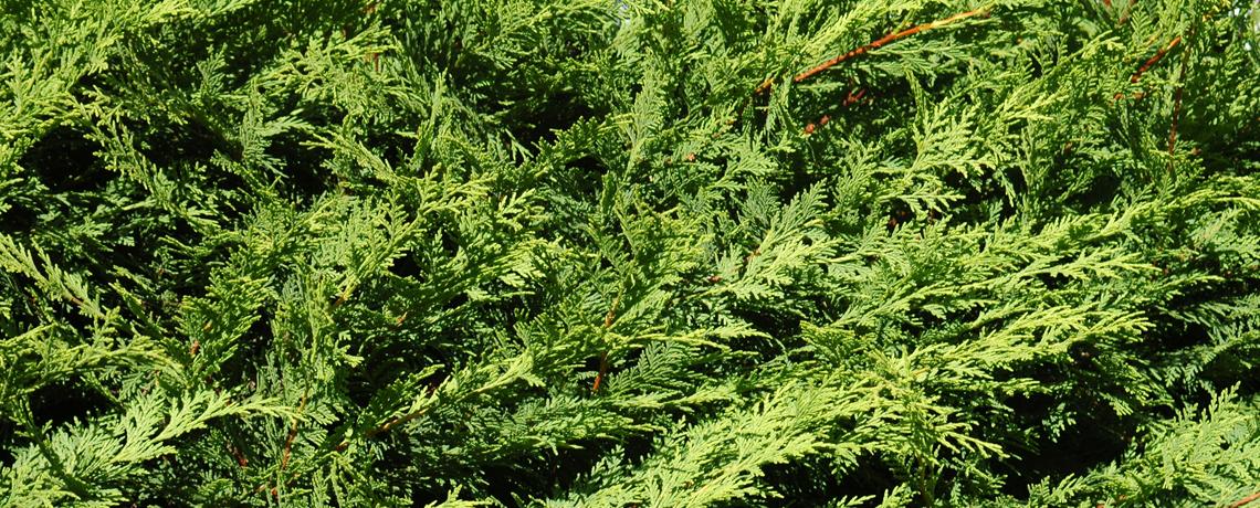 Green-Leylandii-Banner-2