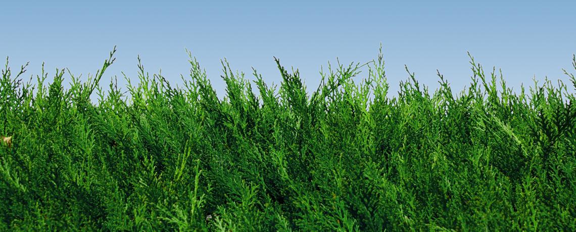 Green-Leylandii-Banner-3