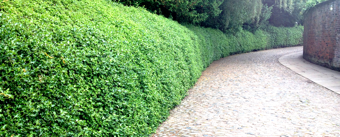 Holly-Hedging1
