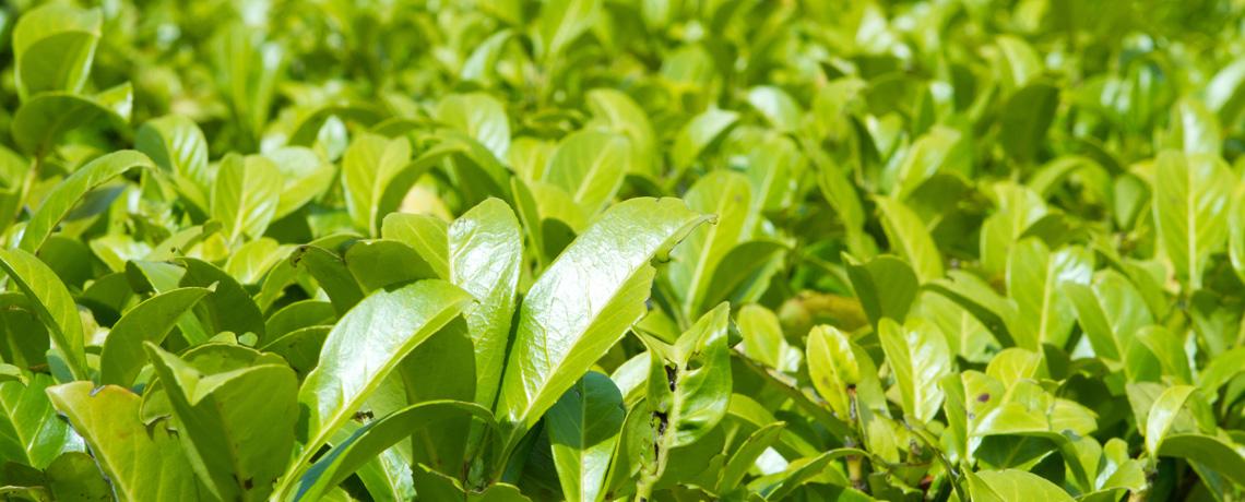 laurel hedging plants hedging uk. Black Bedroom Furniture Sets. Home Design Ideas