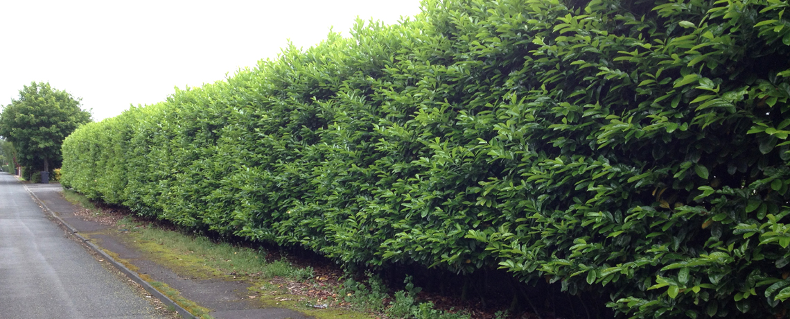 Laurel-Hedging1