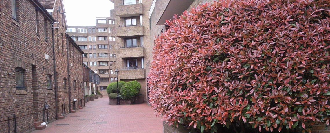 Photinia-Hedging1