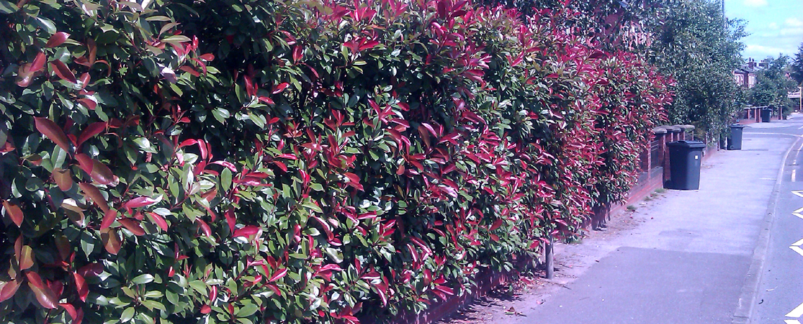 Photinia-Hedging2