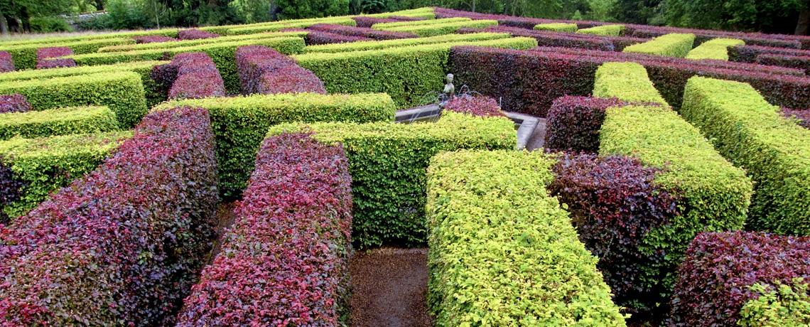 purple beech hedging plants hedging uk. Black Bedroom Furniture Sets. Home Design Ideas