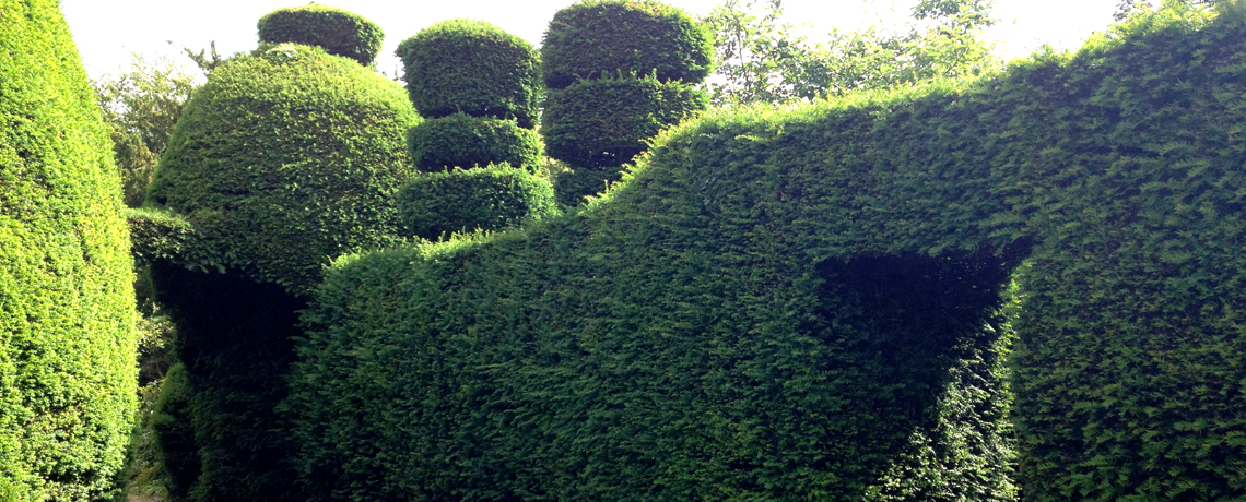 Yew-Hedging3