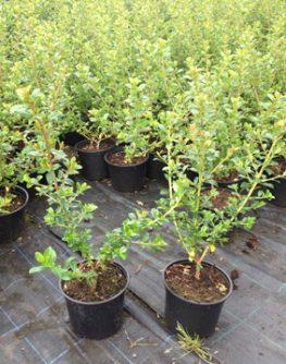 Escallonia Le Blossom Hedging Plants 2l Pot