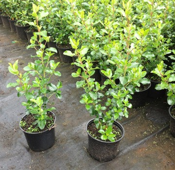 Category Escallonia Hedging Plants