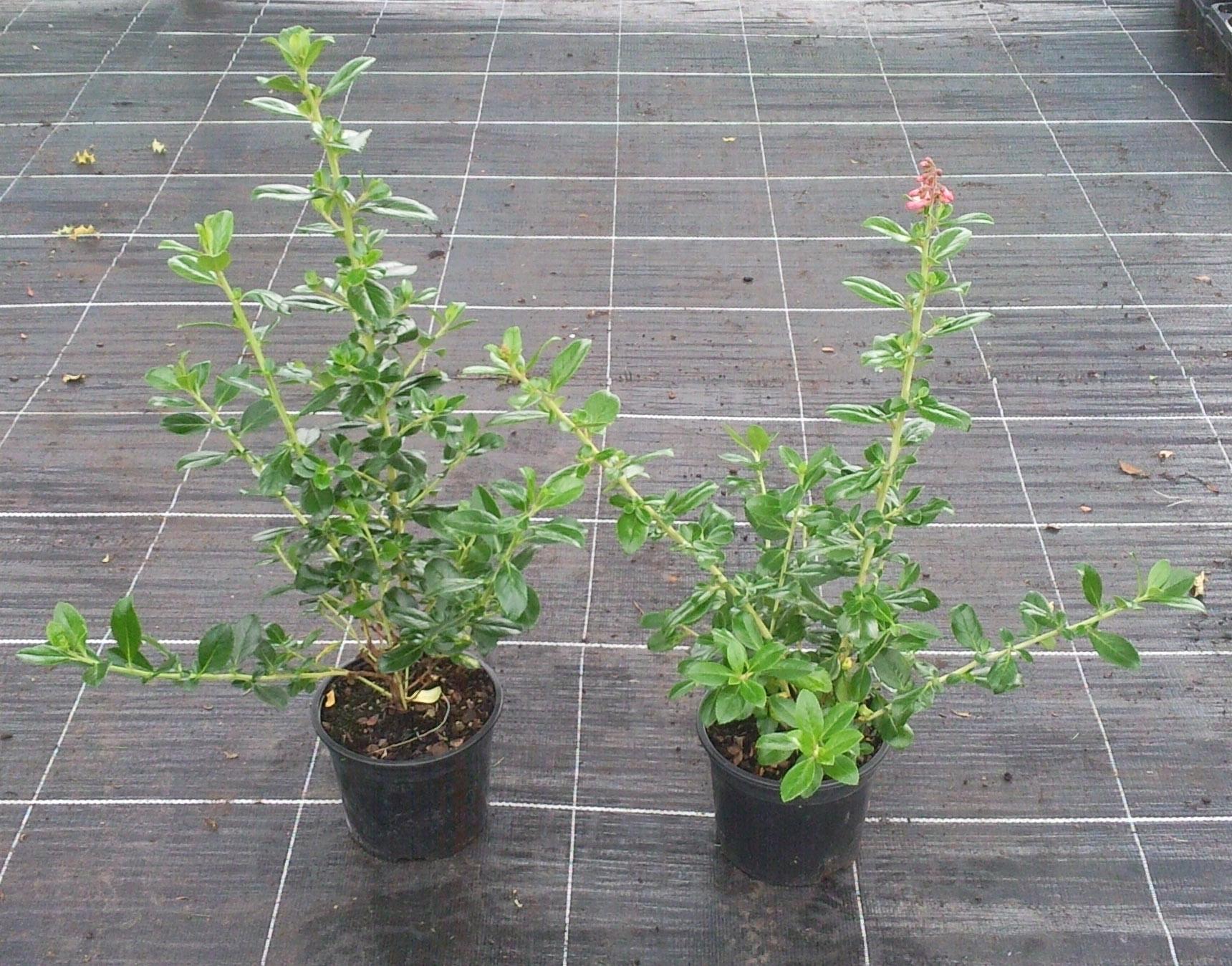 escallonia macrantha hedging plants 2l pot hedging uk. Black Bedroom Furniture Sets. Home Design Ideas
