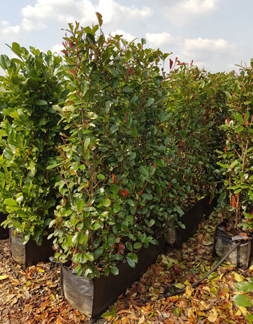 Photiniainstant2 Sku Category Photina Red Robin Hedging Plants