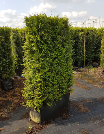 thuja instant hedge 1m long 90 litres hedging uk